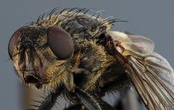ординарность мухы Стоковое Изображение