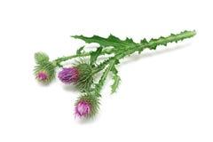Ординарность цветет thistles Стоковое Изображение