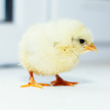 ординарность цыпленока Стоковые Фото