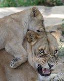 осадка мати льва стоковое фото rf