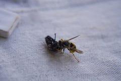 Оса воюя с мухой на таблице стоковое изображение rf