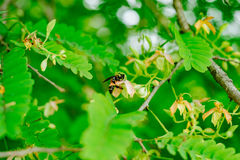 Оса в дереве цветка тамаринда Стоковое Изображение