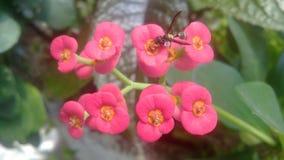 Оса делая опыление на розовых цветках стоковое изображение rf