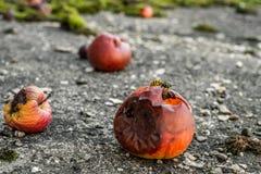 Оса есть от тухлого яблока Стоковые Изображения RF