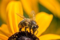 Оса есть цветок конуса формы желтый Стоковое фото RF