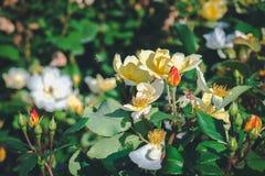 Оса и розы в саде Стоковые Фото