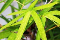Осадки на зеленых бамбуковых листьях предпосылка Стоковая Фотография RF