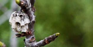 оса крапивницы Стоковое Изображение