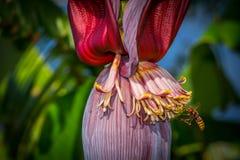 Оса летания банановым деревом стоковые изображения
