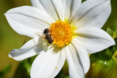 Оса насекомых Стоковое фото RF
