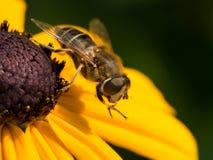 Оса на желтом цветке конуса Стоковые Фотографии RF
