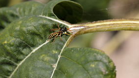 Оса на лист солнцецвета Стоковые Фото