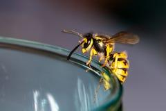 Оса на стекле - опасность в лете стоковые изображения rf