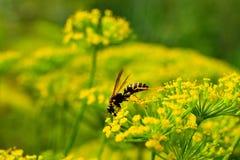 Оса на цветке укропа стоковое изображение rf