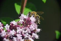 Оса на цветке Стоковое Изображение