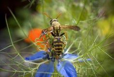 Оса на цветке damascena Nigella Стоковые Фото