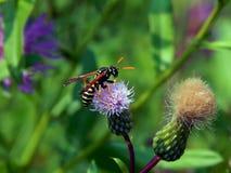 Оса на thistles луга цветка Стоковое фото RF