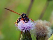 Оса на thistles луга цветка Стоковые Фото