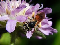 Оса на thistles луга цветка Стоковое Фото