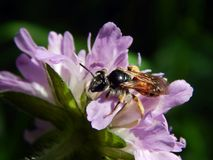 Оса на thistles луга цветка Стоковое Изображение