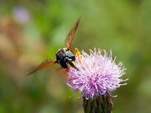 Оса на thistles луга цветка Стоковое Изображение RF