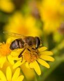 Оса отдыхая на желтом цветке Стоковые Изображения