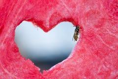 Оса положенная на кусок арбуза Стоковая Фотография RF