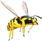 Оса, пчела, насекомое, изолированная черепашка, Стоковая Фотография RF