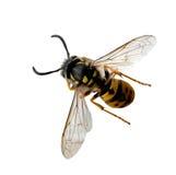 оса пчелы стоковая фотография