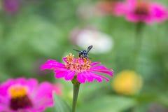 Оса с цветком zinnia Стоковые Изображения RF