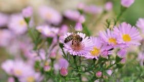 оса цветка Стоковые Фотографии RF