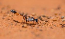 Оса Ammophila стоковые фотографии rf