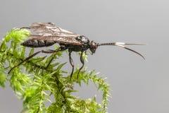 Оса Ichneumon (альт Coelichneumon) Стоковая Фотография RF