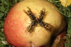 Оса, Vespula vulgaris Стоковые Изображения