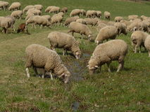 Освежение для овец стоковые изображения