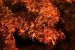 Осветите вверх покрашенных листьев Стоковое Изображение