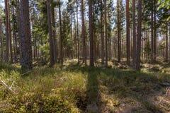Осветите контржурным светом через стволы дерева в шведском лесе стоковые фотографии rf