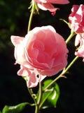 осветите розовую контржурным светом стоковые фотографии rf