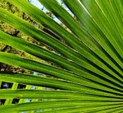 Освещенные задней частью веерообразные листья ладони дерева капусты Стоковые Изображения RF