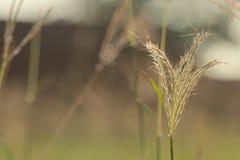 Освещенный задней частью абстрактный цветок травы Lalang крупного плана Стоковые Изображения RF