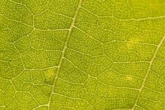 освободите вены листьев Стоковые Изображения RF
