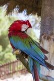 Освободите красный попугая ары сидя на дереве в парке Стоковая Фотография