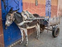 Осел в проводке против яркой голубой двери в Marrakech Стоковое Изображение