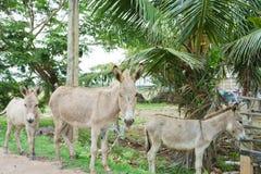 Осел в улицах Шри-Ланки Стоковая Фотография