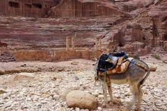 Осел в Petra. Стоковое Фото