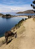 Осел на пути, Isla Del Sol, Боливии стоковые изображения