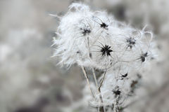 Осемените головы Clematis в зиме, скопируйте космос Стоковые Изображения RF