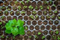 Осемените расти в заводе подноса дерево Стоковые Изображения