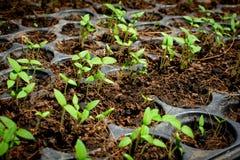 Осемените расти в заводе подноса дерево Стоковое Изображение RF