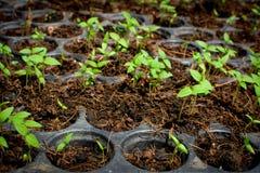 Осемените расти в заводе подноса дерево Стоковое Изображение